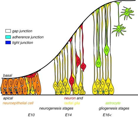 CONTRIBUIÇÃO DA GLIA RADIAL NA NEUROGÊNESE