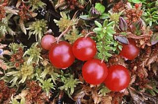 arando vermelho, ou uva do monte, em inglês: cranberry  em alemão: preiselbeeren em italiano: mirtilo rosso