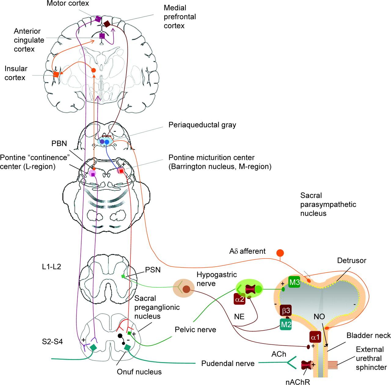 controle cortical da micção