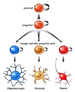 NEUROGÊNESE