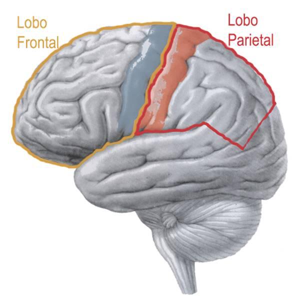 córtex motor primário e córtex somatossensorial primário