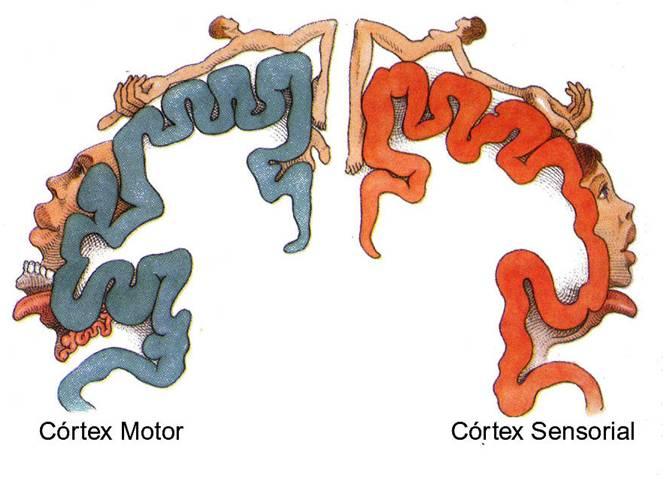 homúnculo de Penfield-representa,ão cortical das diferentes partes do corpo humano