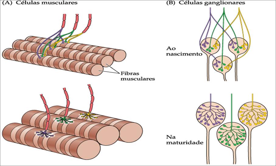 sinaptogênese