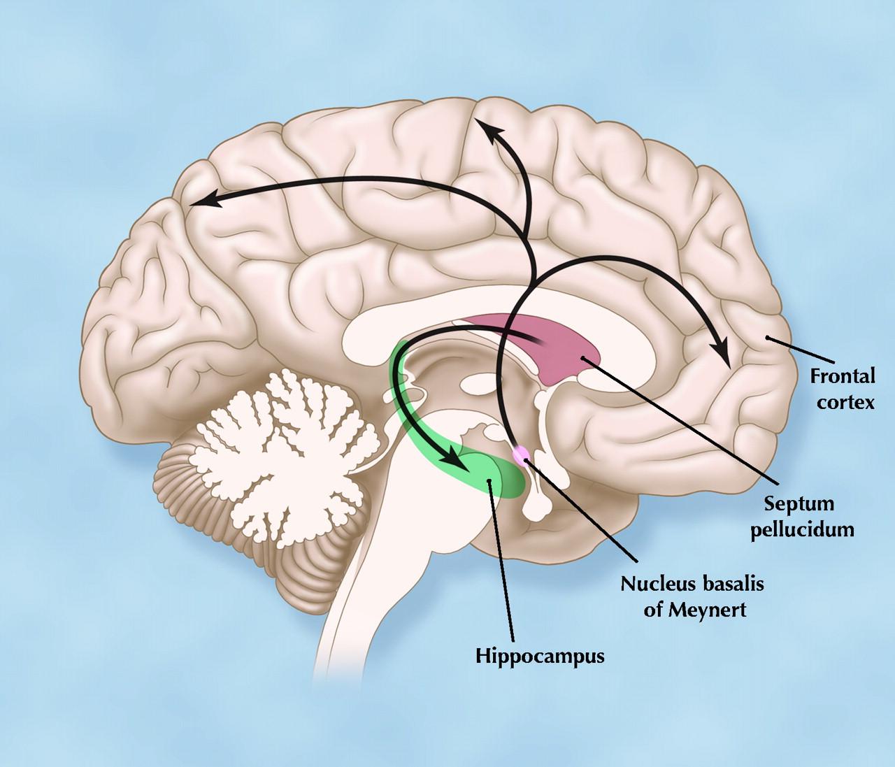 aferências colinérgicas do núcleo basal de Meynert para