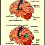 correlatos neurais da leitura e compreensão verbal