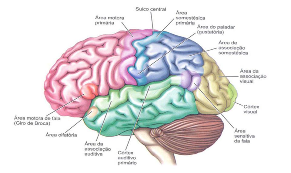 Divisão do encéfalo de acordo com seus córtex funcionais.