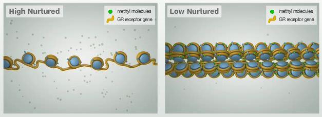 Esquema da diferença na metilação do gene receptor GR: o rato que recebeu pouco cuidado materno possui o gene muito metilado, reduzindo, assim, sua expressão.