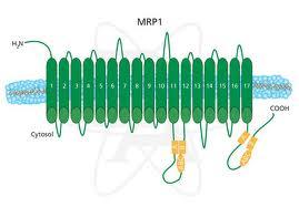 Esquema da proteína MRP1.