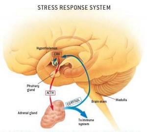 ansiedade-stressresponse-300x270