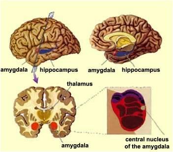 amígdala-posiçào anatômica e núcleos da base.