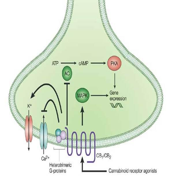 Receptores canabinóides (RC) são acoplados à proteína G:Os RC se encontram inseridos na membrana celular, acoplados às proteínas-G, primeiros componentes no processo de transdução de sinais, e à enzima adenilato ciclase (AC).  O aumento do cálcio intracelular é fator desencadeante para que o precursor de endocanabinóide acoplado à membrana seja sintetizado, clivado e liberado Após essa interação, há reações em vários componentes intercelulares, que incluem a inibição da AC, abertura dos canais de potássio, diminuindo a transmissão dos sinais e fechamento dos canais de cálcio voltagem-dependentes, levando a um decréscimo na liberação de neurotransmissores.