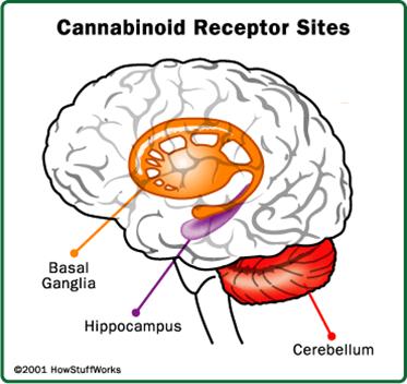 canabinoides receptores CB1