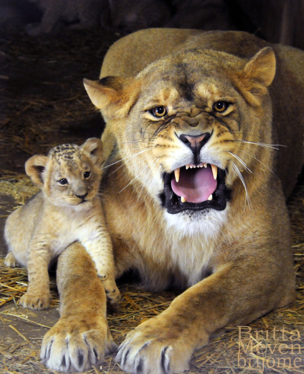 mother lioness_with_son_by_brijome-d65kvn3