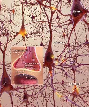 O sistema nervoso é capaz de modificar as conexões entre suas células e seu funcionamento como resposta aos estímulos do ambiente.