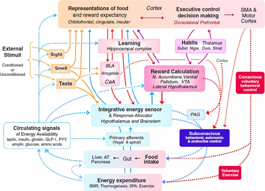 (colour online) Major neural systems and pathways involved in the control of ingestive behaviour and energy balance regulation with emphasis on interactions between the classical homoeostatic energy regulatory system in the hypothalamus and brainstem (blue boxes and arrows in lower half) and cognitive/emotional brain systems (red boxes and arrows in upper half). Bottom-up modulation of cognitive and emotional processes by metabolic signals and their derivatives is accomplished by (a) circulating hormones and metabolites acting not only on the hypothalamus and brainstem but also on external sensory processing pathways as well as on components of the corticolimbic system (open blue arrows with broken lines), (b) a stream of vagal and spinal sensory information from within the body to all levels of the neuraxis, including the cortex (full blue arrows with solid lines) and (c) neural signals generated by the integrative hypothalamic energy sensor and distributed to areas involved in reward-based decision making (full blue arrows with solid lines). Together, these ascending modulatory influences determine the level of incentive salience directed to specific nutrients. Top-down modulation of food intake and energy expenditure by cognitive and emotional/reward systems is accomplished by (a) direct external (taste and smell) sensory input to the hypothalamic energy sensor and response allocator (dark yellow lines), (b) input from the amygdala, cortex and reward processing systems to mainly the lateral hypothalamus, responsible for conditioned external signals to elicit food intake (full red lines and arrows), (c) inputs from cortex, amygdala and basal ganglia to midbrain extrapyramidal motor pathways (emotional motor system, broken red lines and full arrows) and (d) pyramidal motor system for voluntary behavioural control (broken red lines on the right). N. Accumbens, nucleus accumbens; SMA, supplemental motor area; BLA, basolateral amygdala; CeA, central nucleus of the amygdala; VTA, ventral tegmental area; PAG, periaqueductal gray; GLP-1, glucgon-like-peptide-1; PYY, peptide YY; AT, adipose tissue; SPA, spontaneous physical activity. Adapted from(12). http://www.ncbi.nlm.nih.gov/pmc/articles/PMC3617987/figure/F1/