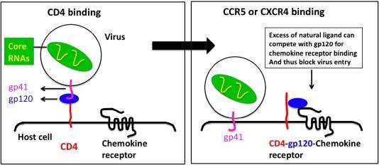 HIV co-receptor