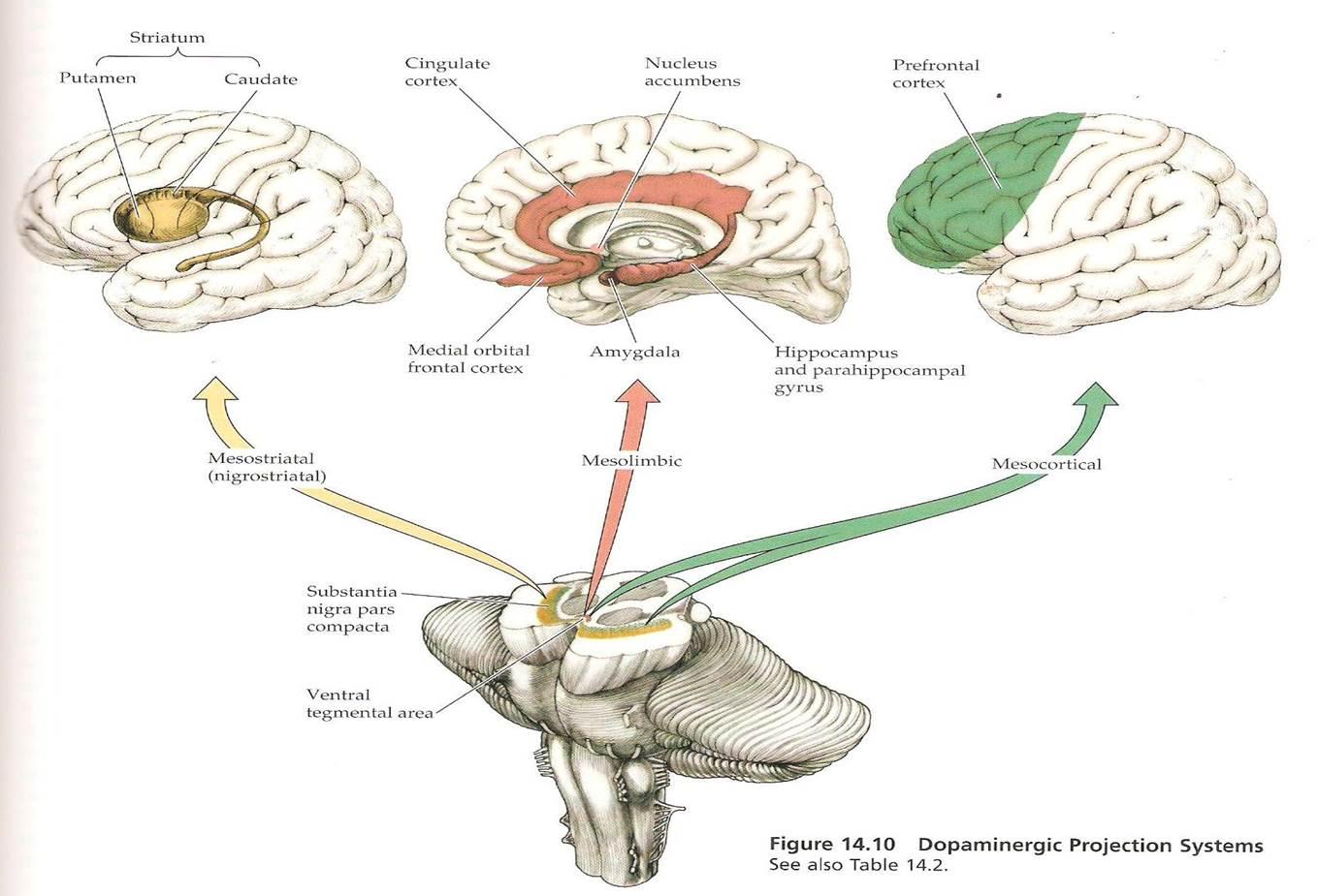 alças dopaminérgicas