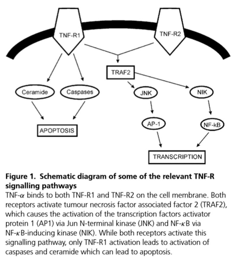 glutamato TNF