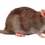 _rato