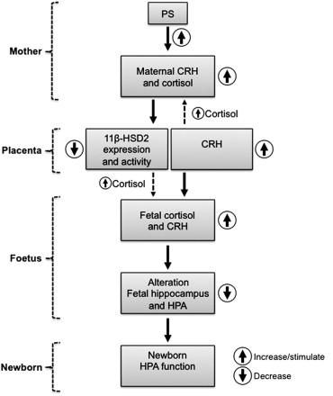 pain-Maternal cortisol effects on fetus