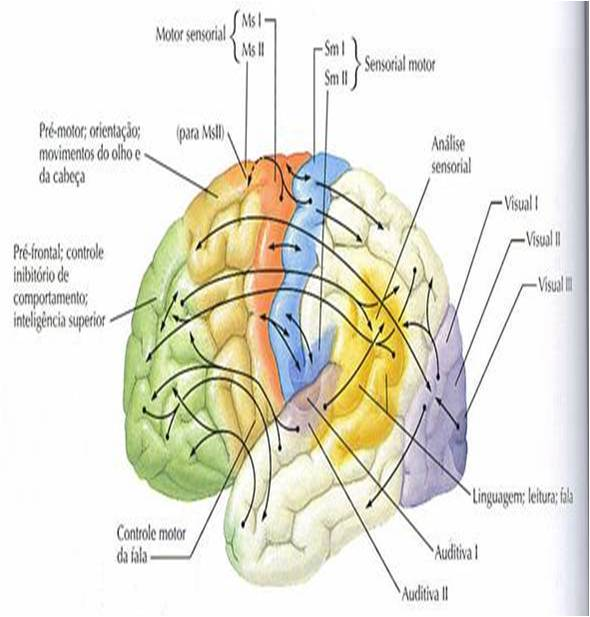 areas-do-cortex-cerebral