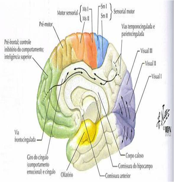 areas-do-cortex-cerebral-corte-sagital-visao-medial