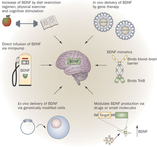 memory brain-derived-neurotrophic-factor