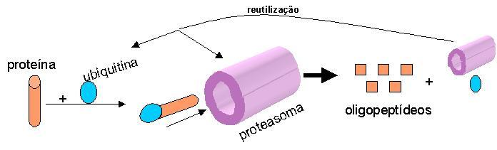 memory ubiquitina proteasoma
