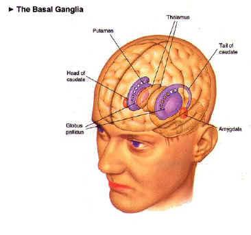 basalganglia-2