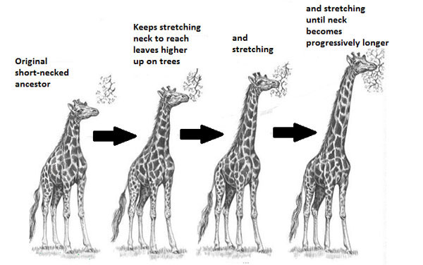 Image shows how Lamarck's thought giraffe's necks changed overtime by stretching
